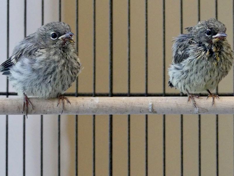 Western warblers