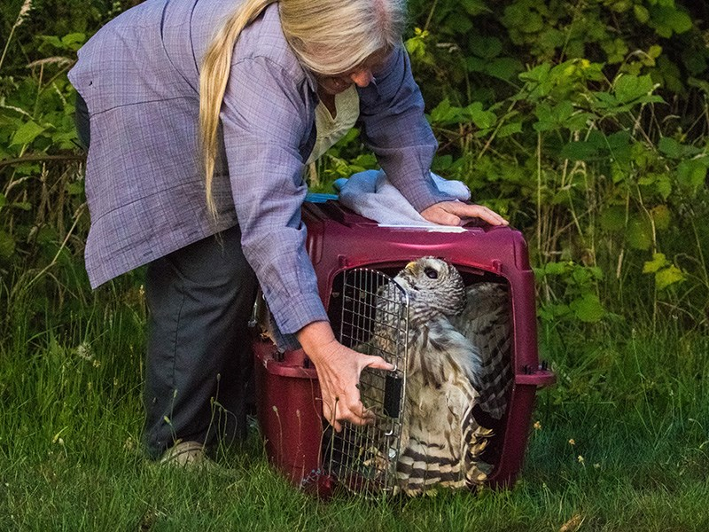Barred owl release