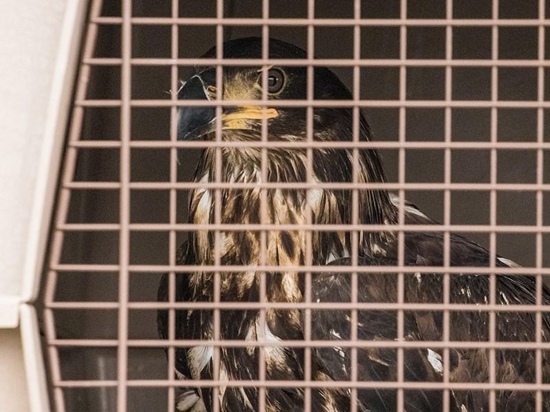 Savary eaglet